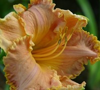 Spacecoast Starburst Daylily Picture