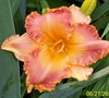 Spacecoast Starburst Daylily