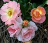 Peach Drift Rose