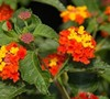 Bandana Red Lantana