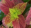 Alabama Sunset Coleus Picture