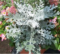 Dusty Miller Picture