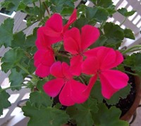 Ivy Geranium (Group) Picture