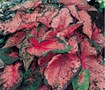 Pink Beauty Caladium
