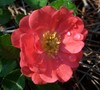 Coral Drift Rose