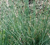 Blue Arrow Juncus Picture