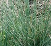 Blue Arrow Juncus