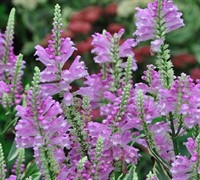 Vivid Obedient Plant Picture