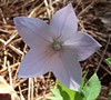 Shell Pink Balloon Flower