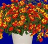 Fireworks Lantana