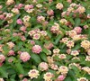 Peach Sunrise Lantana