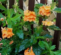 Crossandra Orange Marmalade Picture