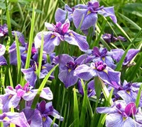 Anna Japanese Iris Picture