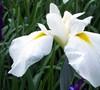Wake Hegi Japanese Iris