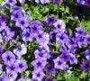 Blueberry Phlox Intensia