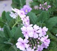 Pink Parfait Verbena Picture