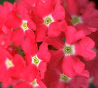 Aztec Hot Pink Verbena Picture