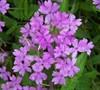 Superbena Large Lilac