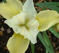 Butter And Sugar Iris Picture