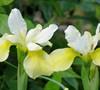 Butter And Sugar Iris