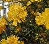 Double Kerria Japonica Picture