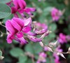 Little Volcano Bush Clover Picture