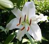 Casablanca Oriental Lily