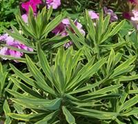 Ascot Rainbow Euphorbia Picture