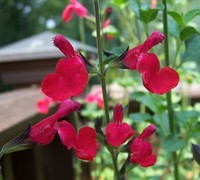 Cherry Queen Salvia Picture