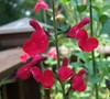 Cherry Queen Salvia