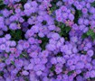 Hawaii Blue Ageratum