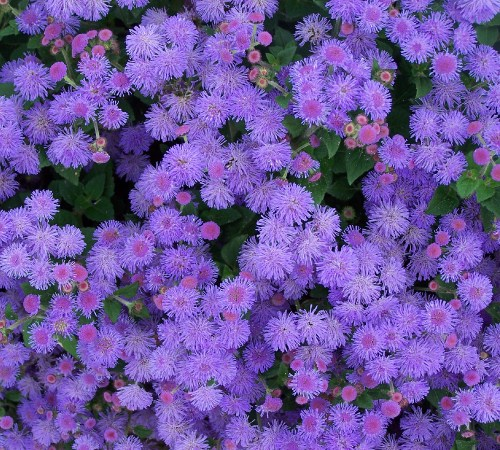 Picture of Hawaii Blue Ageratum