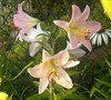 Le Reve Oriental Lily