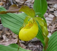 Golden Slipper Orchid Picture