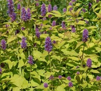 Golden Jubilee Agastache Picture