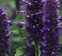 Licorice Blue Agastache Picture