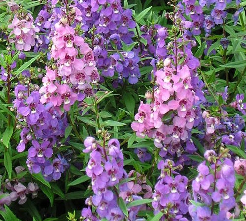 Picture of Summer Snapdragon