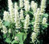 Licorice White Hyssop