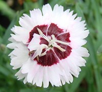 Brilliant Star Dianthus Picture