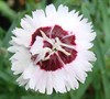Brilliant Star Dianthus