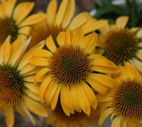 Harvest Moon Coneflower Picture