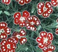 Spangled Star Dianthus Picture