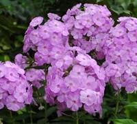 David's Lavender Garden Phlox Picture