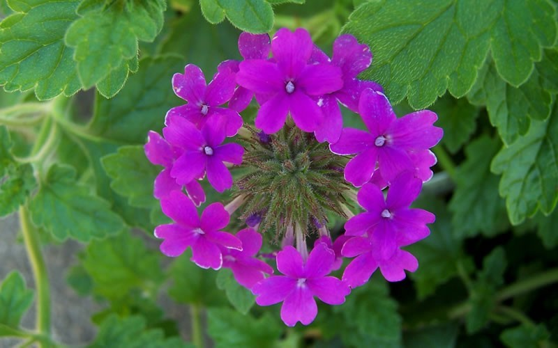 Homestead Purple Verbena Picture