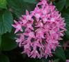 Butterfly Deep Pink Pentas