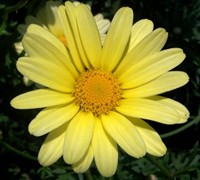Butterfly Yellow Marguerite Daisy Picture
