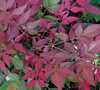 Flirt Nandina Picture