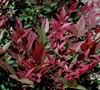 Obsession Nandina