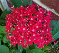 Butterfly Red Pentas Picture