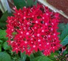 Butterfly Red Pentas